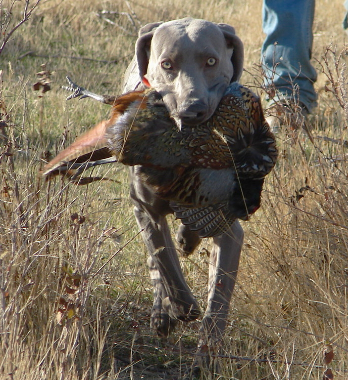 Hunting Dog Pictures For Sale